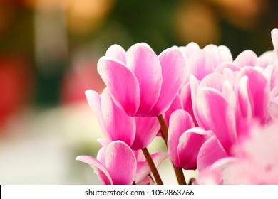 Cyclamen flowers with beautiful pink color