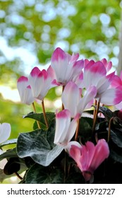 Cyclamen flowers with blurred green trees in background