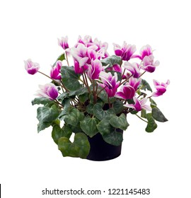 cyclamen flowers isolated on white background