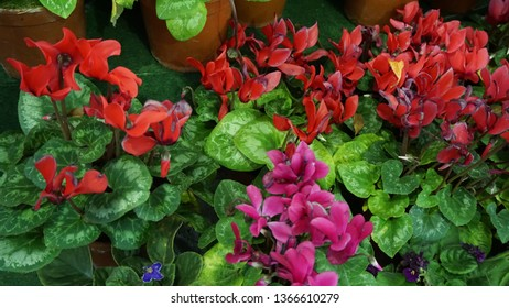 Cyclamen is a genus of 23 species of perennial flowering plants in the family Primulaceae. Cyclamen species are native to Europe and the Mediterranean Basin