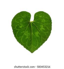 Cyclamen Heart Shape Leaf