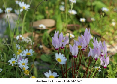 Cyclamen hederifolium with camomille flowers in spring