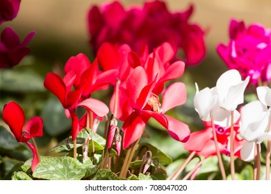 Cyclamen hederifolium flower is a species of flowering plant in the genus Cyclamen, of the family Primulaceae