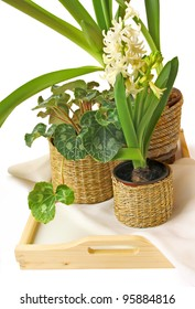 Cyclamen, hyacinth and amaralis on a tray on a white background