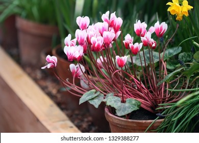 Cyclamen  pink with white  in a pot in garden nursery. Flower greenhouse and the blossoming cyclamen in the foreground it is horizontally.  Primulaceae Family. Cyclamen persicum.