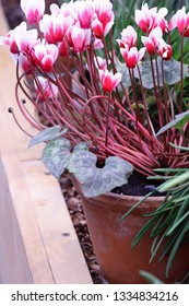 Cyclamen  pink with white  in a pot in garden nursery. Flower greenhouse and the blossoming cyclamen in the foreground it is vertically.  Primulaceae Family. Cyclamen persicum.