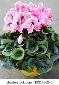 a Cyclamen Plants