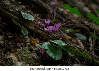 Cyclamen purpurascens is a species of flowering plant in the genus Cyclamen of the family Primulaceae. It is a tuberous perennial with variegated leaves, and deep pink flowers in summer. - Shutterstock ID 1472519732