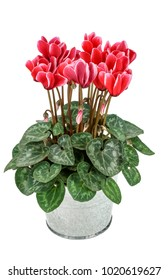 cyclamen red with white (Cyclamen persicum) isolated on white