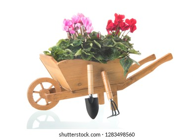 Cyclamen in wheelbarrow isolated over white background