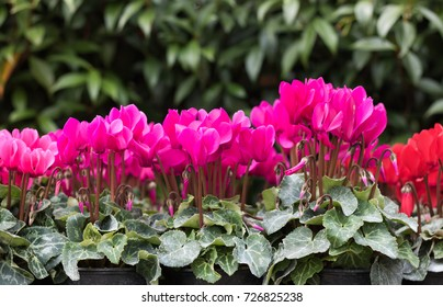 Cyclamen's blossom season. Many flowers of pink cyclamen grow in pots in a garden center on a background of green foliage.