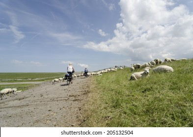 cyclist between sheep on the dike