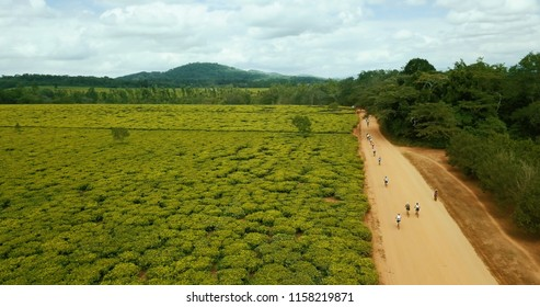 Cyclists passing farmers picking tea leave field africa malawi