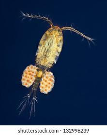 Cyclops - copepod - copepods - blue dark field