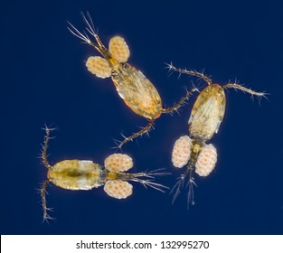 Cyclops - copepod - copepods - group - with eggs - blue dark field