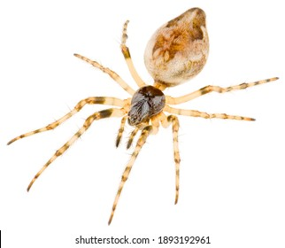 The Cyclosa conica spider a species of an orb weaver spider in the family Araneidae spiders. Side view of Orb-weaver spider isolated on white background.