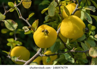 Cydonia oblonga quince. Ripe yellow fruits quince. Quince grow on quince bush with green foliage in fruit garden. Close up.