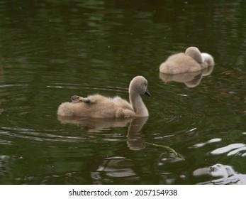 Cygnet baby swans play in the water medium shot