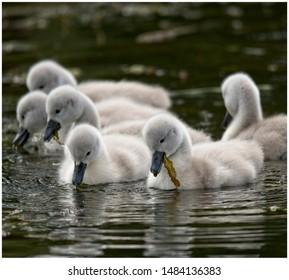 Cygnet group feeding on water