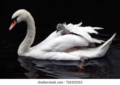 Cygnet hitching a ride on Adult Swan