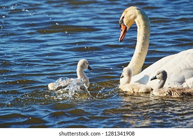 Cygnet kick up water while the other cygnets and parent watch