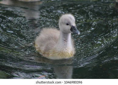 cygnet on lake
