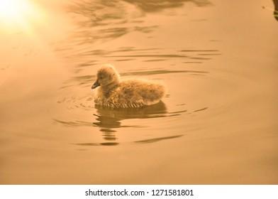 Cygnet on river and sunshine