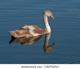 cygnet reflection as it glides gracefully down the river