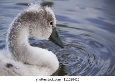 Cygnet Ripples