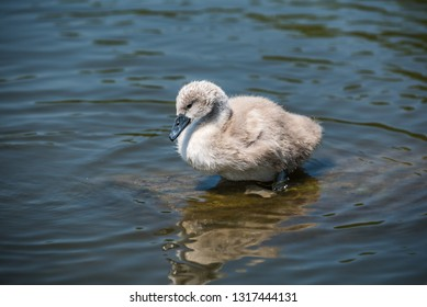 Cygnet standing on a hidden tree log in the water.