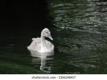 A Cygnet swimming on a lake