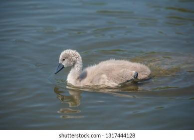 Cygnet taking a swim in the water