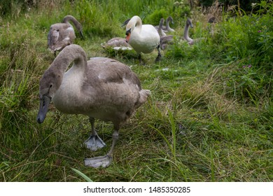 Cygnet wandering away from group