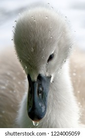 cygnet with water drops