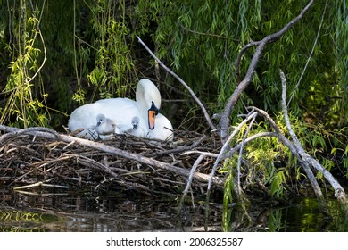 cygnets at the nest whit mom swan