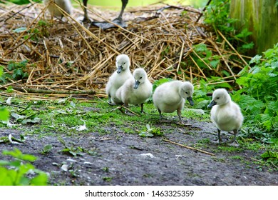 Cygnets walking down to the water from their nest in Stratford Park, Stroud, The Cotswolds, Gloucestershire, UK