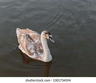 Cygnet/swan on canal