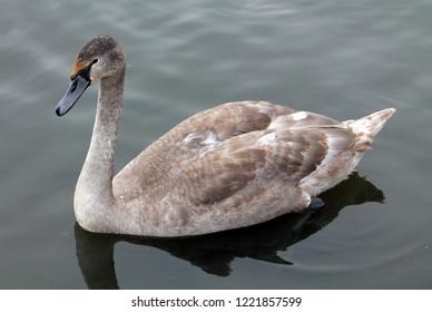 Cygnus olor cygnet or Mute swan in juvenile plumage