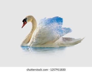 CYGNUS CYGNUS, Swan