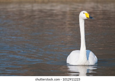 Cygnus cygnus (Whooper swan)