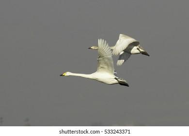 Cygnus cygnus / Whooper Swan -  adult and immature in flight!!!