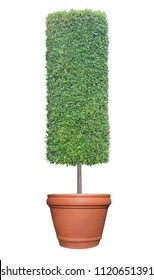 Cylinder column shape topiary tree on terracotta clay pot container isolated on white background for formal Japanese and English style artistic design garden