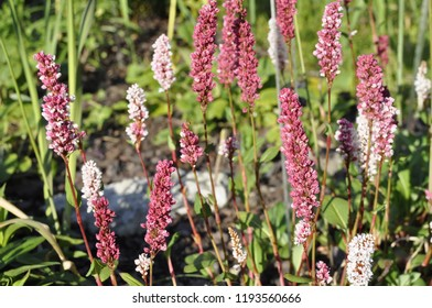 Fleece flower images stock photos vectors shutterstock cylindrical spikes of many pale pink or rose red and white flowers of polygonum affine mightylinksfo