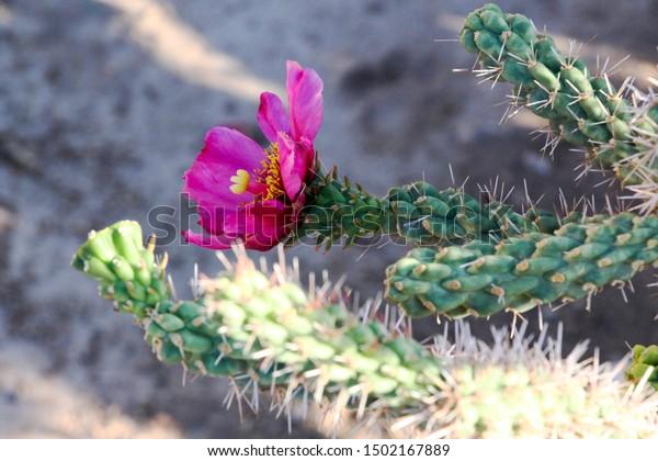 cylindropuntia-imbricata-flower-cane-cho