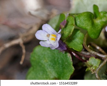 Cymbalaria muralis, with common names ivy-leaved toadflax, Kenilworth ivy, coliseum ivy, Oxford ivy, mother of thousands, pennywort, wandering sailor, Crete