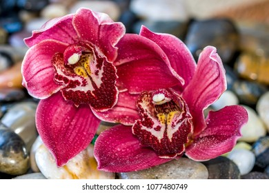 Cymbidium or boat orchid, is a genus of 52 evergreen species in the orchid family Orchidaceae