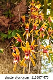 Cymbidium finlaysonianum or Finlayson's Cymbidium is an epiphytic orchid on large tree.