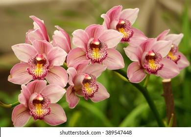 Cymbidium  hybrid on blurred background Flowers