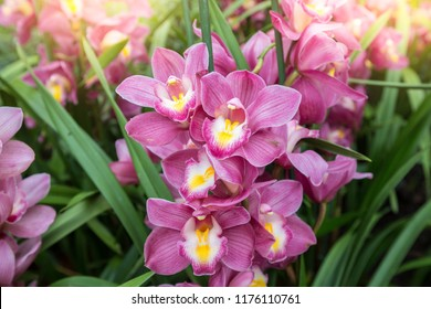 Cymbidium orchid or or boat orchid have highly decorative flower spikes. Pink Cymbidium orchid.