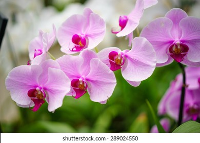 cymbidium orchid flower.
